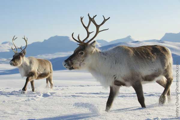 Reindeer / Caribou