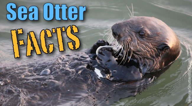 Sea Otter Facts