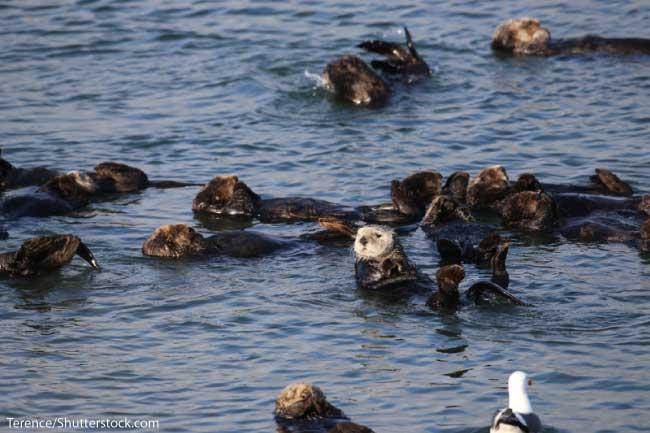 Sea otter group