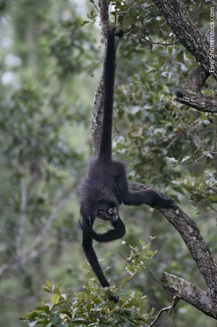 Spider Monkey Swinging With Tail