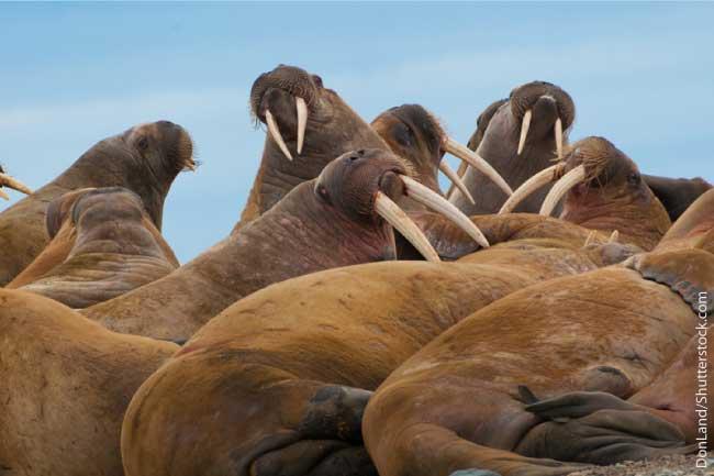 Walrus Herd