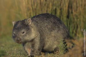Online zoo - Wombat
