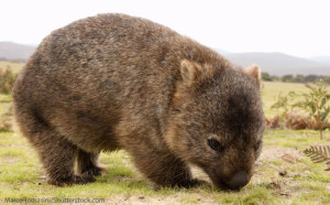 Wombat in the wild