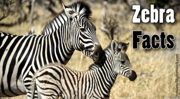 Zebras Pictures For Kids Zebra Facts For Kids