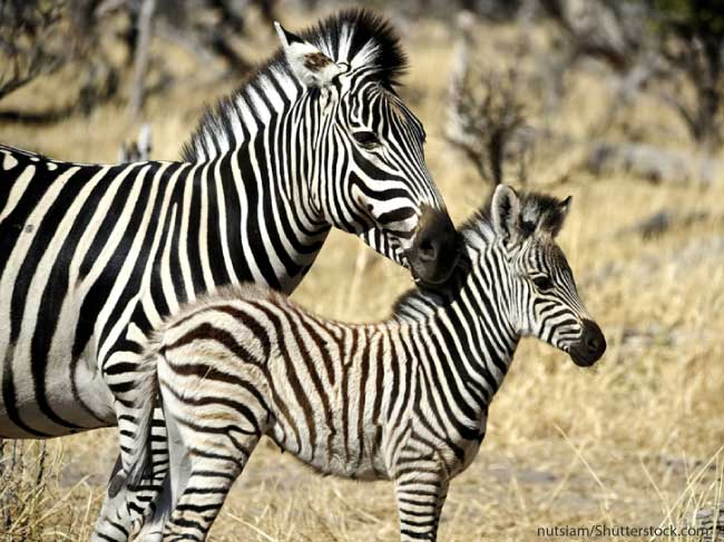 A zebra foal being looked after by its mother.