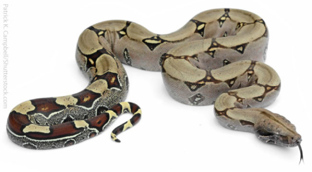 Boa Constrictor Facts on Animals And Their Habitats