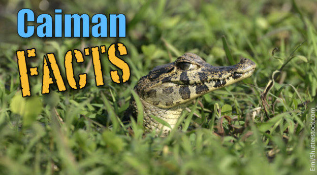 Caiman Facts For Kids