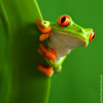Red Eyed Tree Frog Classification