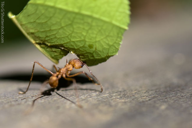 Leafcutter Ant Facts For Kids