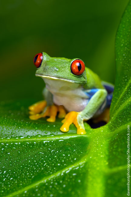 11 Colorful Facts About the RedEyed Tree Frog  Mental Floss