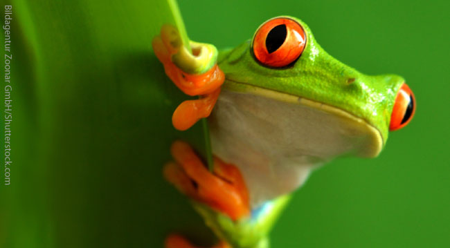 Red Eyed Tree Frog Facts For Kids
