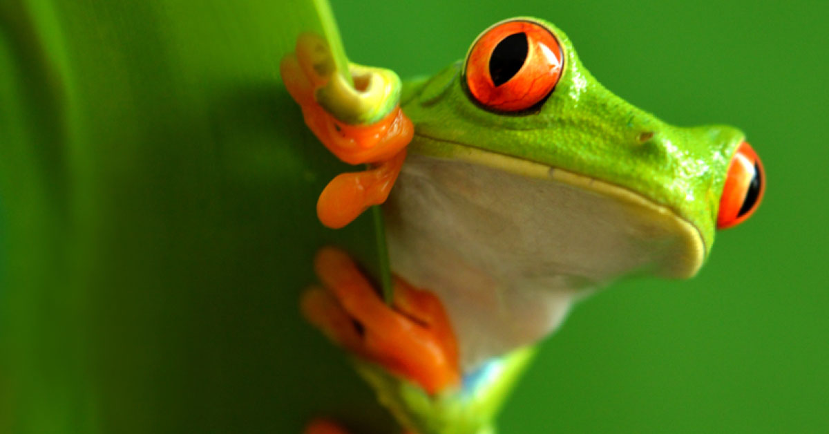 Red Eyed Tree Frog Facts For Kids Information Pics Video