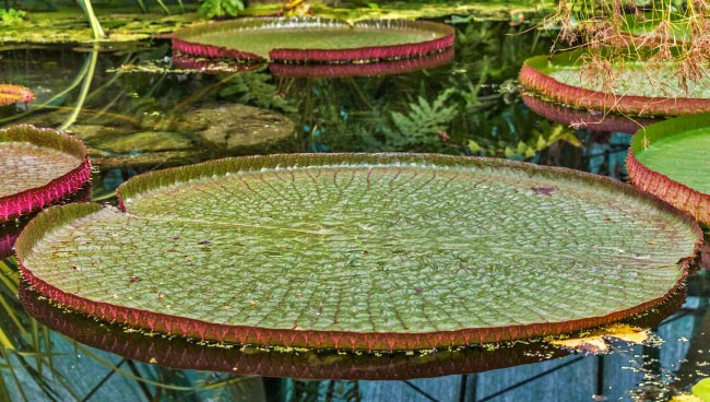 amazon rainforest plants. amazon water lily rainforest plants i