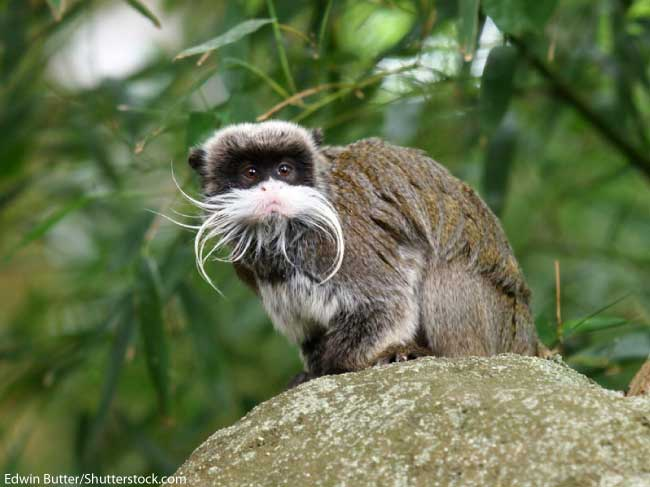 Rainforest Monkey Emperor Tamarin