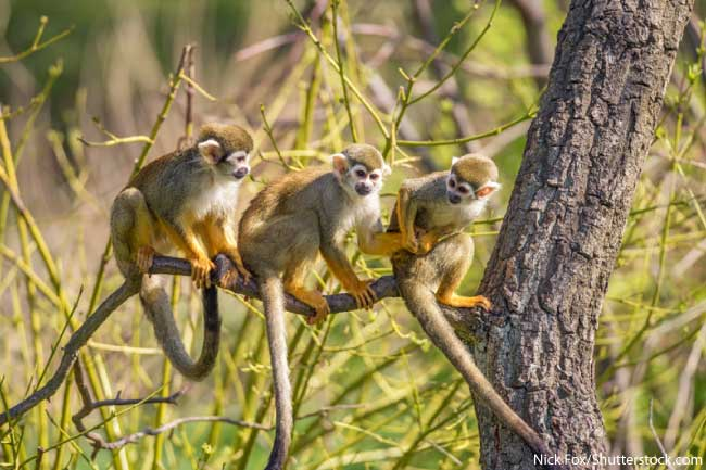 Squirrel Monkeys in the Amazon Rainforest