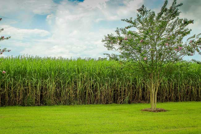 deforestation cause sugarcane farming
