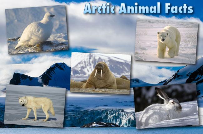 arctic animals facts