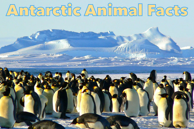 Antarctic Animal Facts