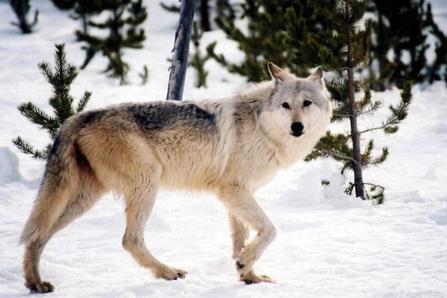 Biology Wolf