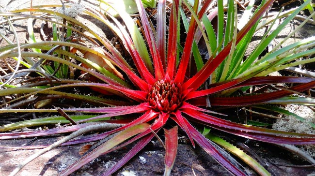 amazon rainforest plants. bromeliad amazon rainforest plants l