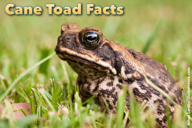Cane Toad Facts For Kids