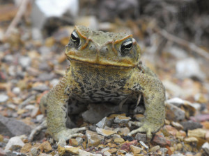 Cane Toad Invasive Species