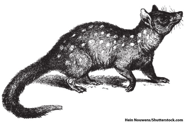 Eastern Quoll Sketch