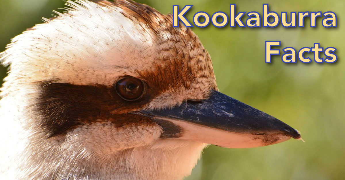 Kookaburra Facts For Kids: Information, Pictures & Video Dinosaurs T Rex