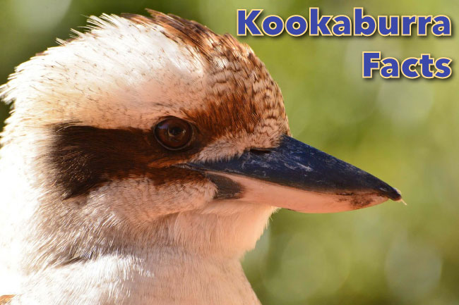 Kookaburra Facts For Kids