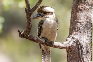 Laughing Kookaburra Facts