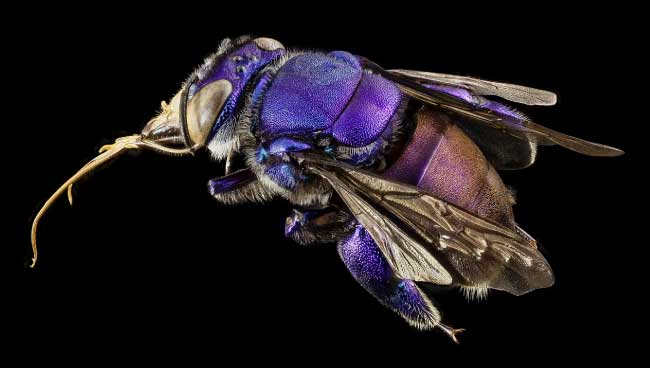 Orchid bees have co-evolved with orchids. Neither could survive without the other.