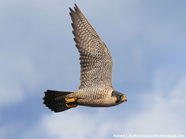 Pererine Falcon Flying