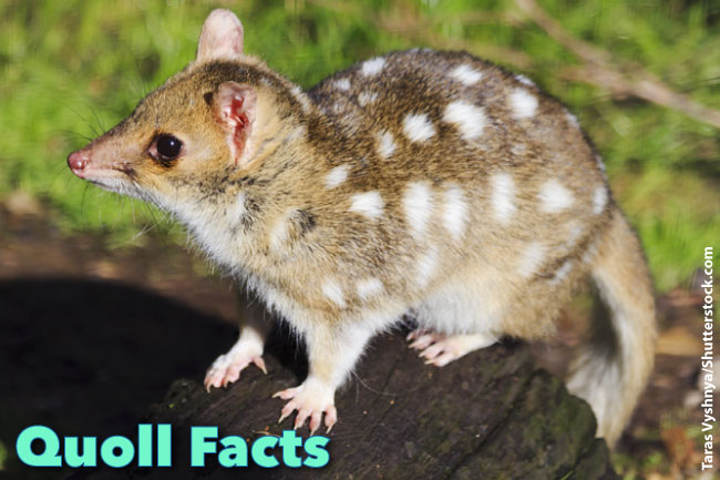 Quoll Facts For Kids