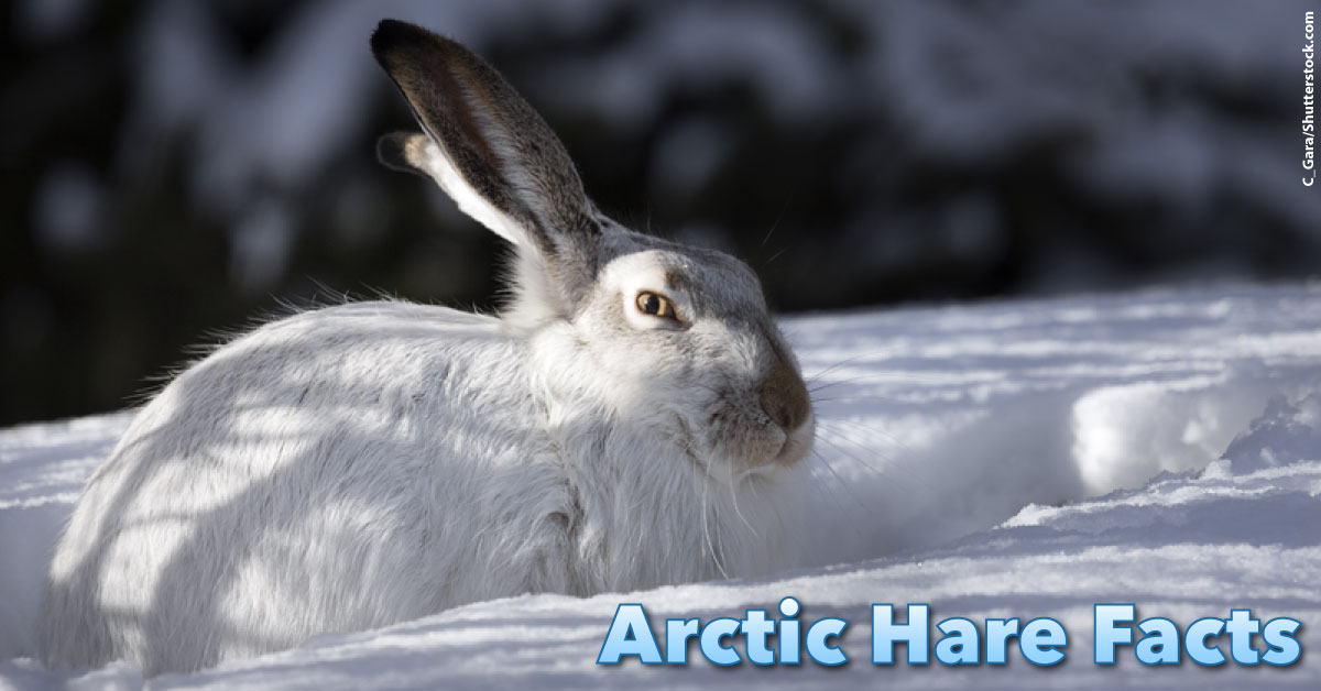 Arctic Hare Facts For Kids: Information, Pictures & Video