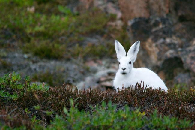 Arctic Hare Habitat Tundra
