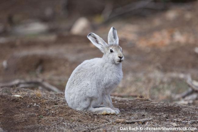 Arctic Hare Tundra