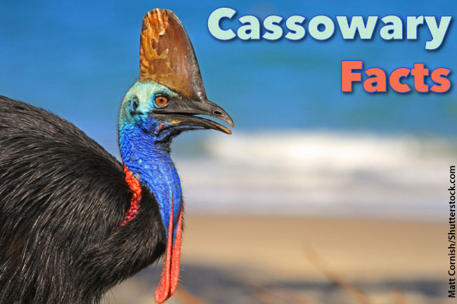 Cassowary Facts For Kids