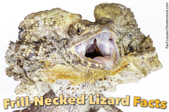 Frill Necked Lizard Facts