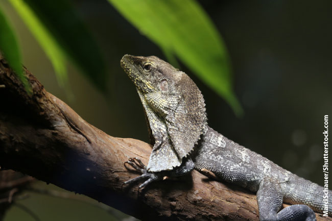 Frill Necked Lizard Up A Tree