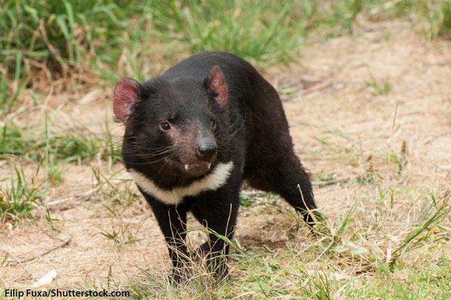 The Tasmanian Devil's consists of wallabies, lizards, and even small kangaroos!