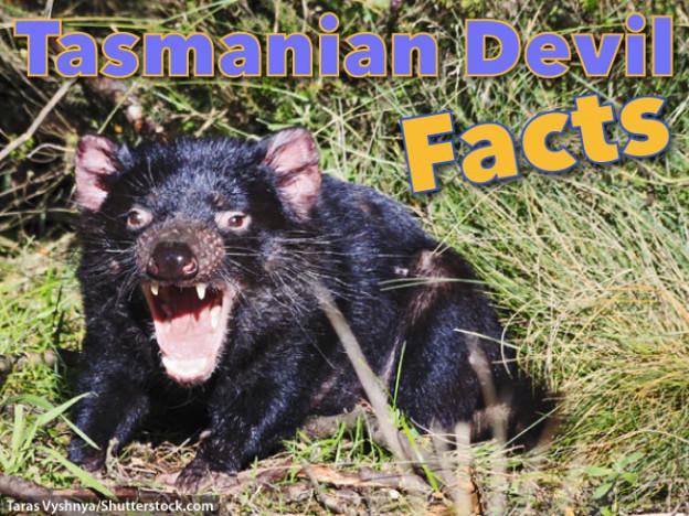 Tasmanian Devil Facts For Kids: Information, Images & Video