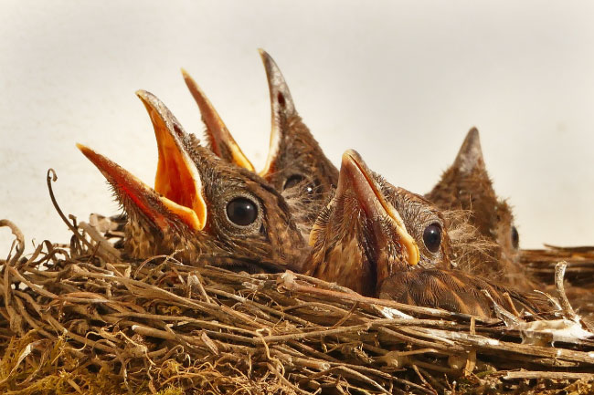 Nest full of chicks