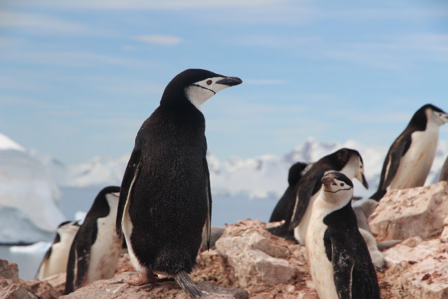 Chinstrap Penguins are birds