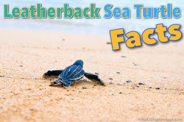 Leatherback Sea Turtle Facts For Kids With Pictures Video