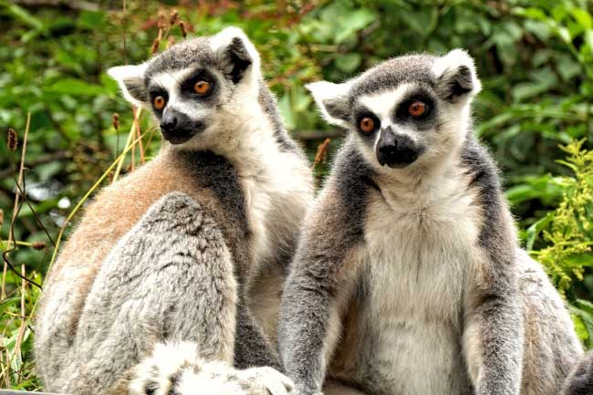 Ring Tailed Lemurs In Madagascar