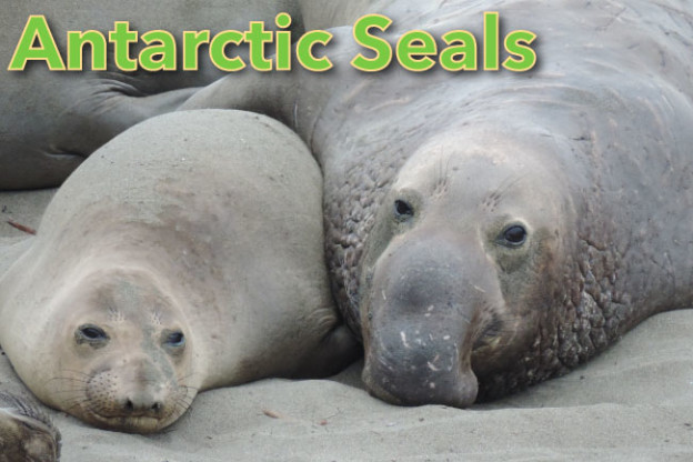 Antarctic Seals