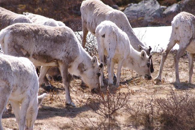 Caribou Herd In The Wild