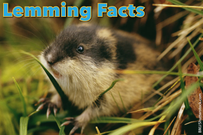 Lemming Facts