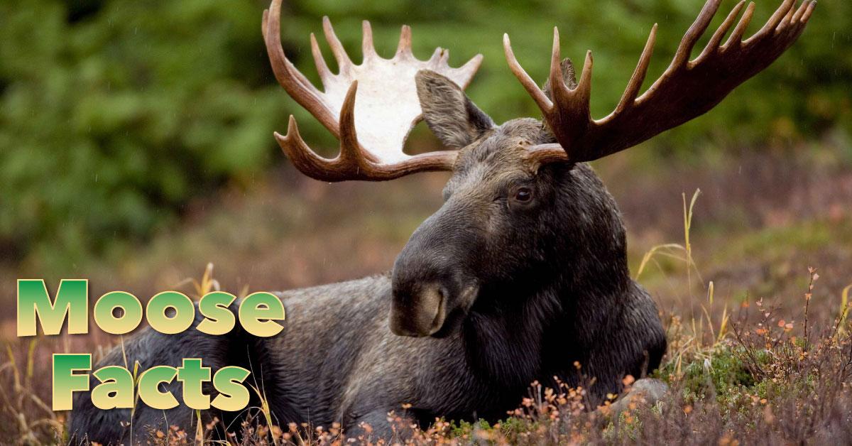 moose facts  images  information  u0026 video for kids  u0026 adults