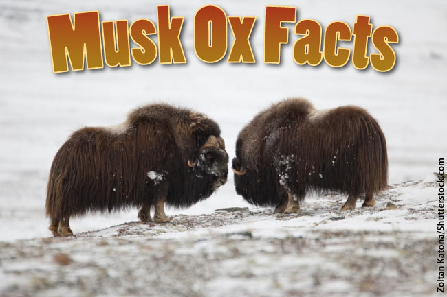 Musk Ox Facts